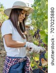 young woman harvesting red... | Shutterstock . vector #707025880