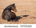Dark Bay Arabian Horse Resting...