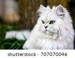 Chinchilla Persian Cat