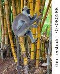 sri lanka   monkey on bamboo.... | Shutterstock . vector #707080588