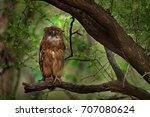 Brown Fish-owl, Ketupa zeylonensis, rare bird from Asia. Indian beautiful owl in nature forest habitat. Bird from Ranthambore, India.