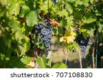 blauer portugieser grape... | Shutterstock . vector #707108830