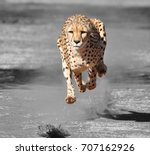 color isolation  running cheetah | Shutterstock . vector #707162926