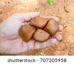 crabwood tree seeds in hand of... | Shutterstock . vector #707205958