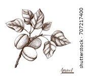 vector apricot vintage sketch.... | Shutterstock .eps vector #707217400
