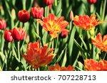 beautiful tulips from alexander ... | Shutterstock . vector #707228713