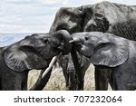 elephant siblings play while... | Shutterstock . vector #707232064