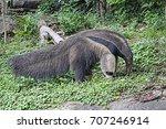 giant anteater at khao kheow... | Shutterstock . vector #707246914