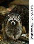 Small photo of Funny beautiful raccoon.Raccoon in the zoo.Many raccoons