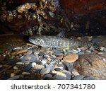 juvenile brown trout hiding...   Shutterstock . vector #707341780