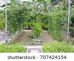 cow pea at garden | Shutterstock . vector #707424154