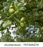 acorn or oak nut on an oak tree ... | Shutterstock . vector #707444374