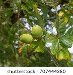 acorn or oak nut on an oak tree ... | Shutterstock . vector #707444380