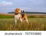 Dog Beagle On A Walk Early In...