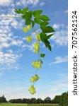 hop  humulus lupulus  | Shutterstock . vector #707562124
