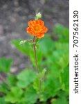 dwarf orange avens  geum... | Shutterstock . vector #707562130
