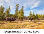 Bison In The Yellowstone...