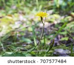 The Yellow Yastrebinka Flower ...
