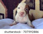 pit bull puppy | Shutterstock . vector #707592886