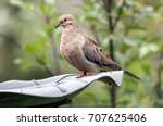 a mourning dove   zenaida... | Shutterstock . vector #707625406