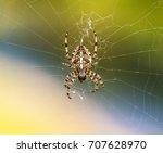 European Garden Spider Or Cros...