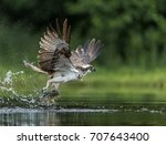 Osprey Catching A Brown Trout