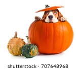 Stock photo scared beagle in pumpkin isolated on a white background halloween background copy space for your 707648968