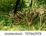 Small photo of Dry brown fool`s parsley (Aethusa cynapium) fruits