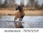 dutch shepherd running with a... | Shutterstock . vector #707672719