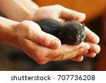 Stock photo black newborn kitten breed of european forest lies in man s hands 707736208
