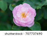 beautiful pink rose isolated... | Shutterstock . vector #707737690