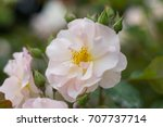 beautiful white rose isolated... | Shutterstock . vector #707737714