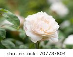 beautiful white rose isolated... | Shutterstock . vector #707737804