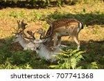 Wild Deer In Richmond Park