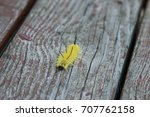 Small photo of Yellow American Dagger Moth caterpillar crawling on the wood.