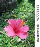 hibiscus rosa sinensis  chinese ... | Shutterstock . vector #707778598