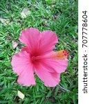 hibiscus rosa sinensis  chinese ... | Shutterstock . vector #707778604