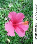 hibiscus rosa sinensis  chinese ... | Shutterstock . vector #707778610