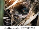 Hooded Pitta Fledgling In The...