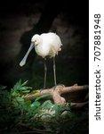 White Spoonbill  Platalea...