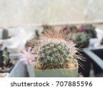 cymbidium mammalia long thorny... | Shutterstock . vector #707885596