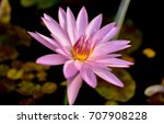 Nymphaea Lotus Flowers And...