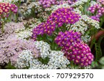 Blossoming Yarrow Flowers....