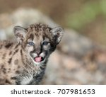 Single Female Mountain Lion Cu...