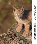 single siberian lynx kitten ...   Shutterstock . vector #707990524