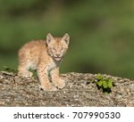 Single Siberian Lynx Kitten ...