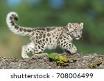 Single Snow Leopard Cub Runnin...