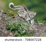 Cute Snow Leopard Cub...