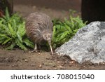 Stock photo the north island brown kiwi on a close up horizontal picture a rare cute little bird endemic to 708015040