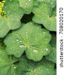 Small photo of Alchemilla vulgaris, common lady's mantle, herbaceous perennial plant. Green background. Leaves with a wavy edge covered with droplets of dew